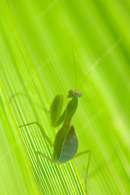 Close up of praying mantis on leaf