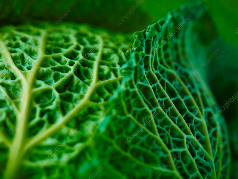 Extreme close up of Savoy cabbage