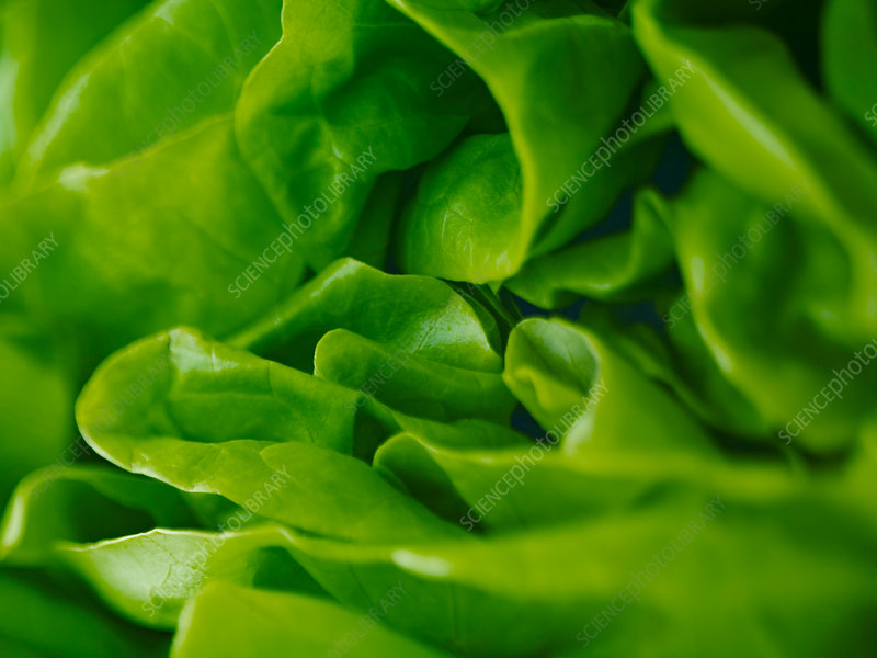 Extreme close up of round lettuce