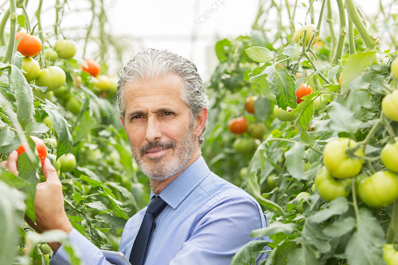Scientist in greenhouse with tomatoes