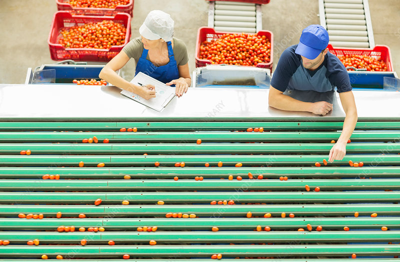 Workers examining tomatoes