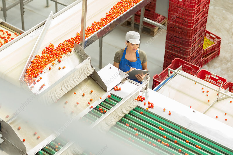 Worker examining tomatoes