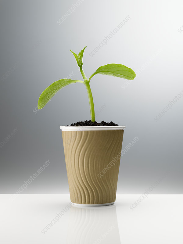 Plant sprouting in disposable coffee cup