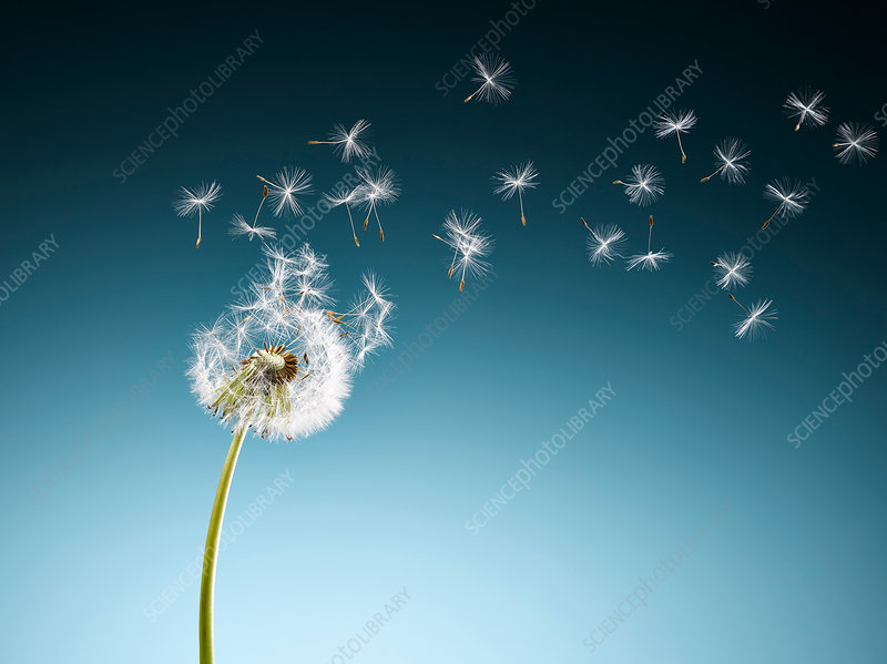 Dandelion seeds blowing