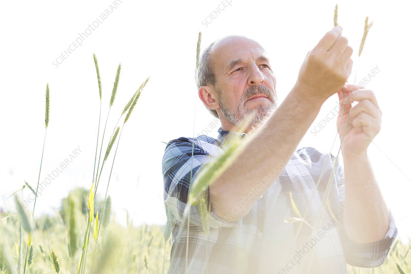 Serious farmer examining crop
