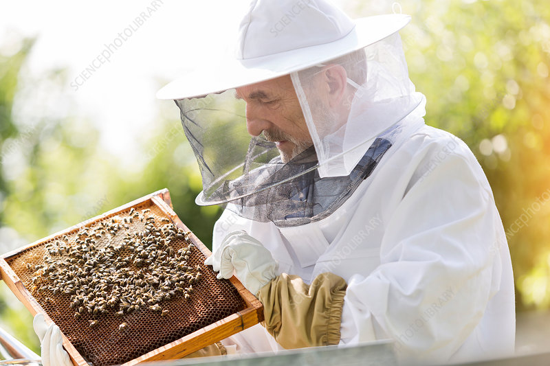 Beekeeper examining bees on honeycomb