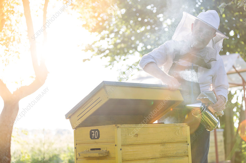 Beekeeper using smoker on beehive