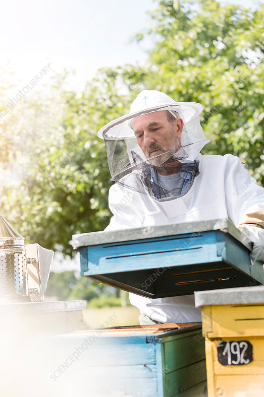 Beekeeper carrying removing beehive lid
