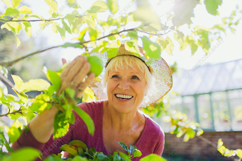 Senior woman picking apple from tree