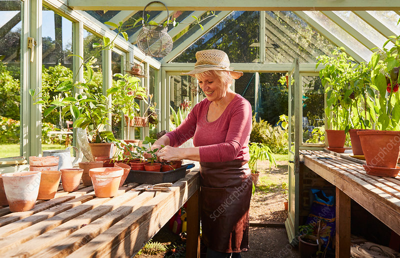 Senior woman potting plants in greenhouse