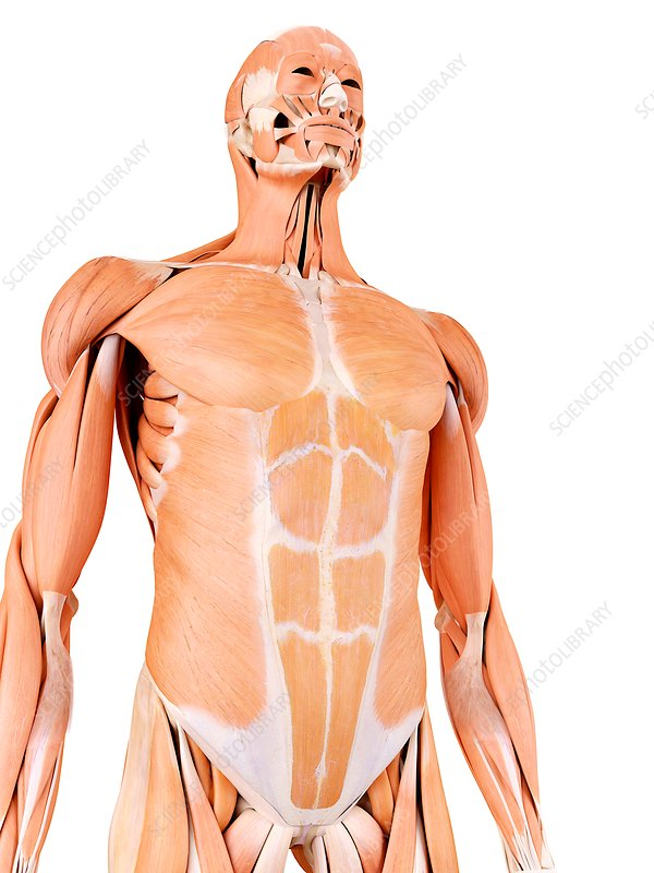 Human abdominal muscles