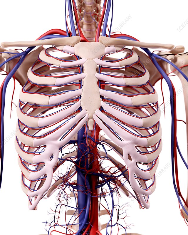 Human thoracic anatomy