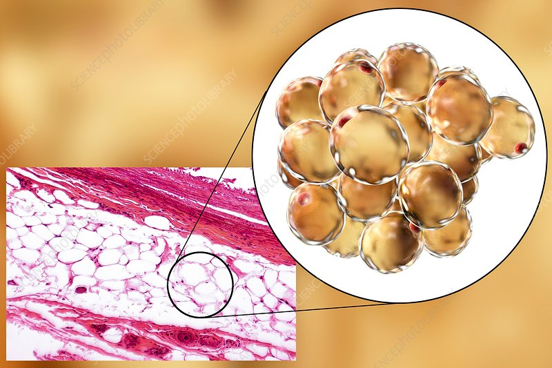 Fat cells, illustration