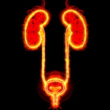 Human urinary system, illustration