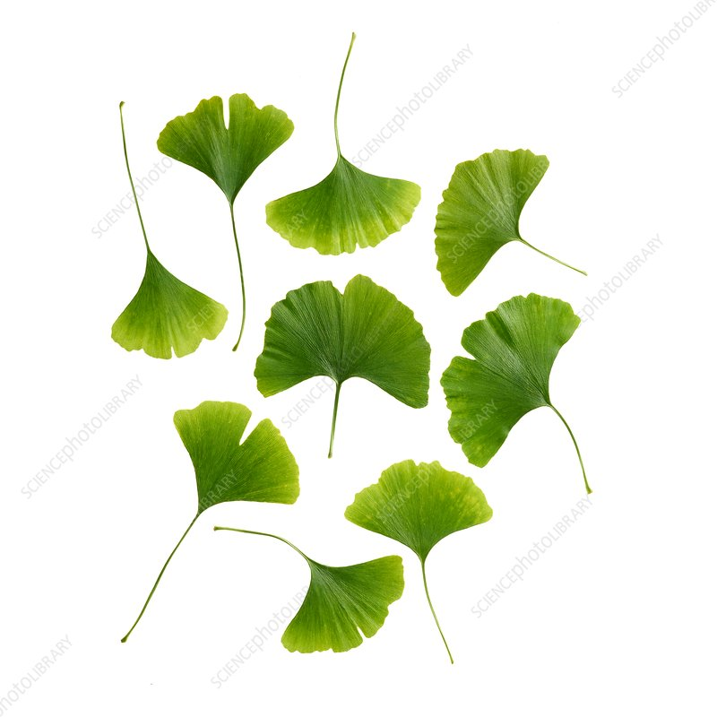 Maidenhair leaves
