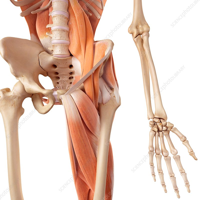 Human hip and leg muscles