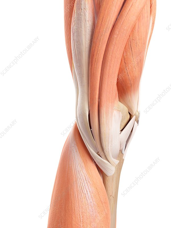 Human knee muscles