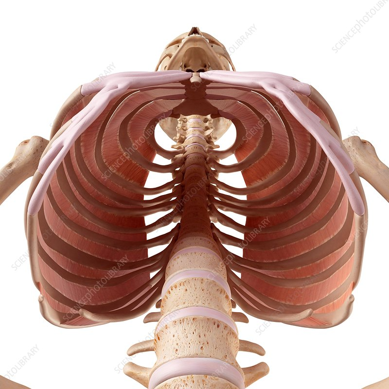 Human thoracic muscles