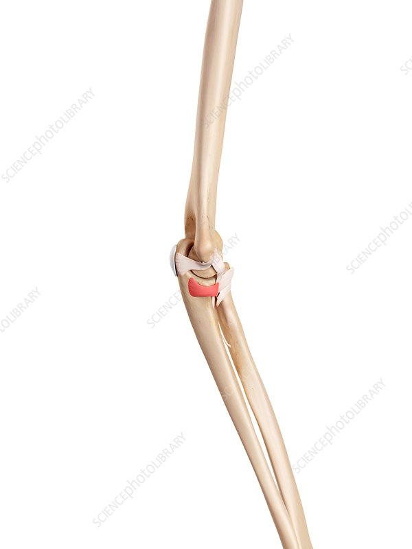 Human elbow ligament