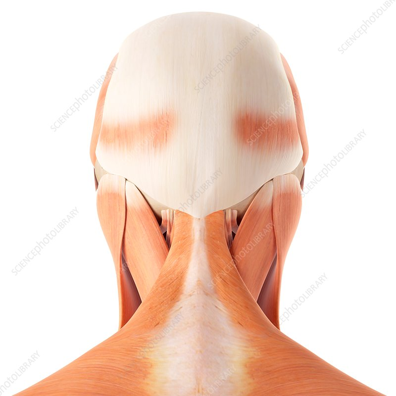 Human head and neck muscles