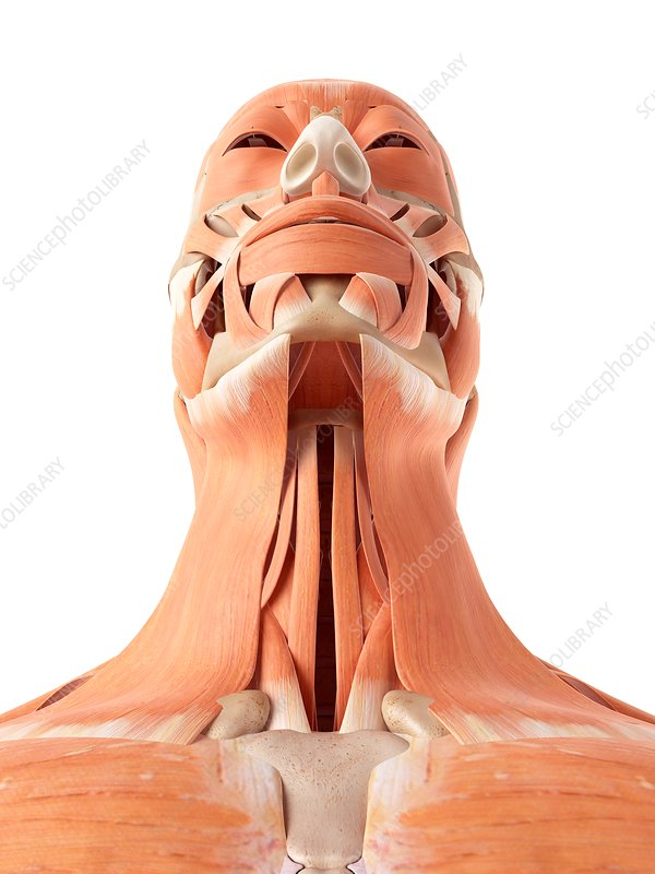 Human muscles of face and throat