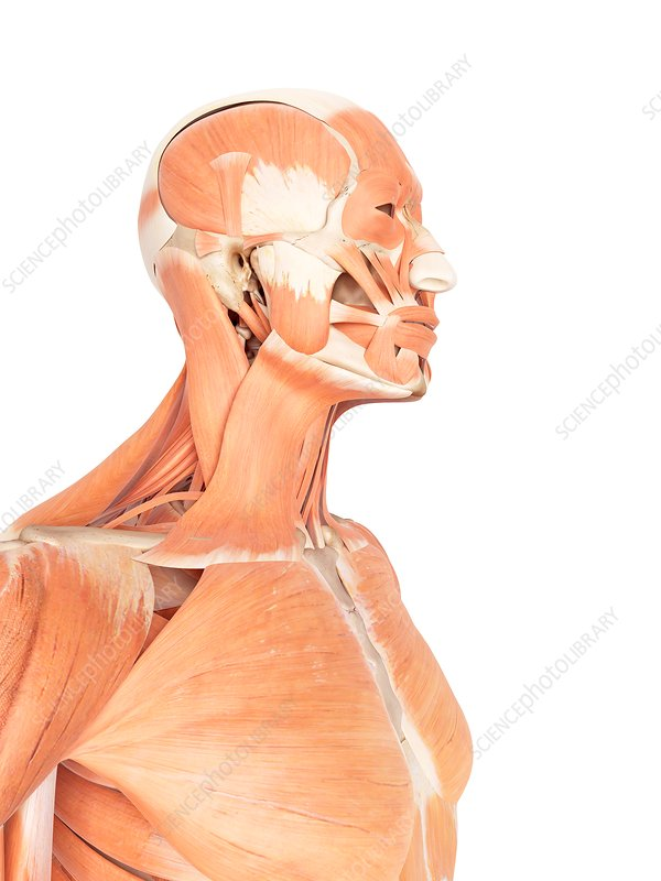 Human facial and neck muscles