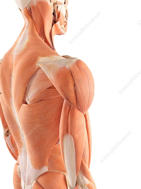 Human shoulder muscles
