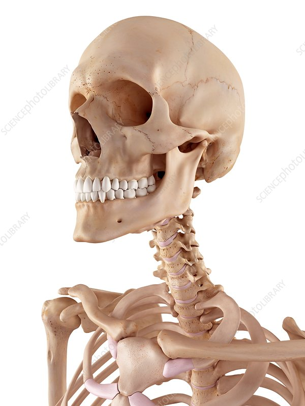 Human skull and neck