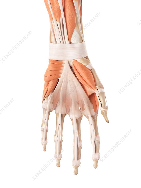 Human hand muscles