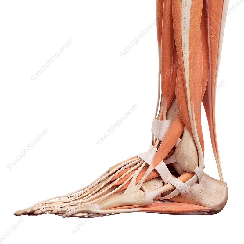 Human foot muscles