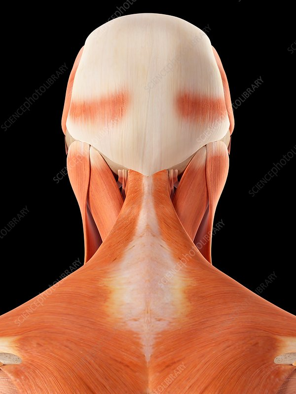 Human muscles of head and neck