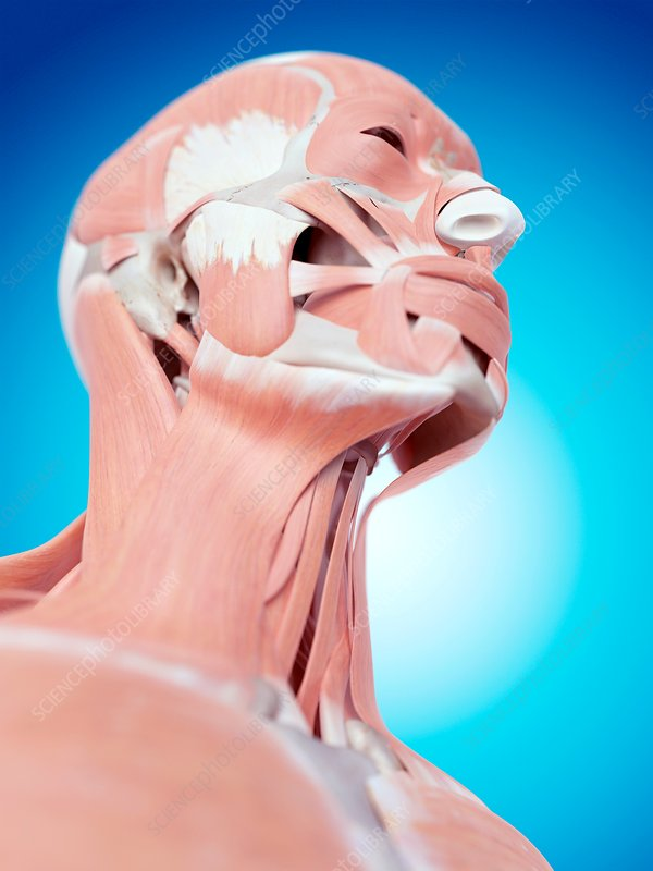 Human face and neck muscles