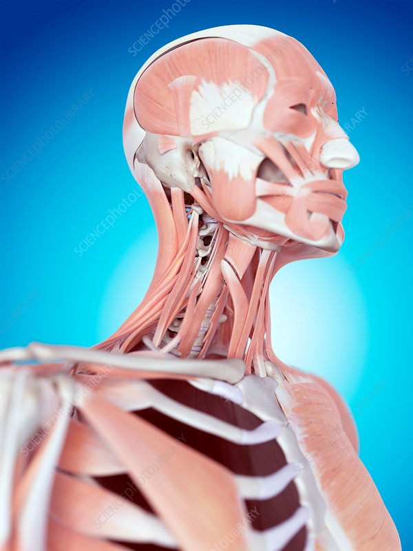 Human neck and facial muscles