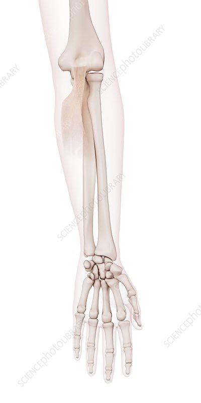 Human elbow muscle