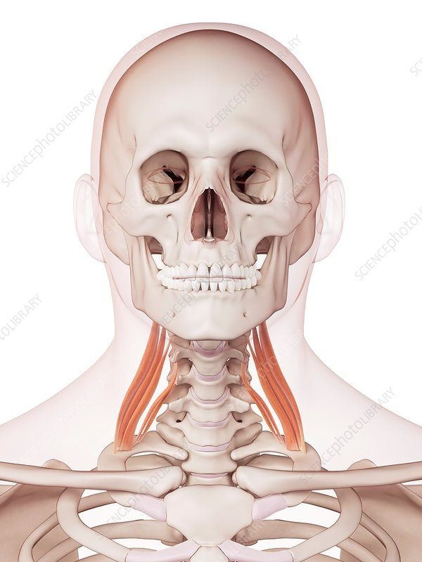 Human neck muscles