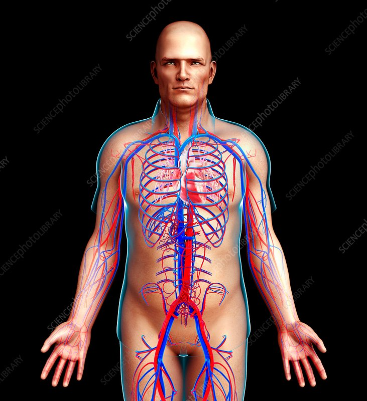 Male circulatory system illustration