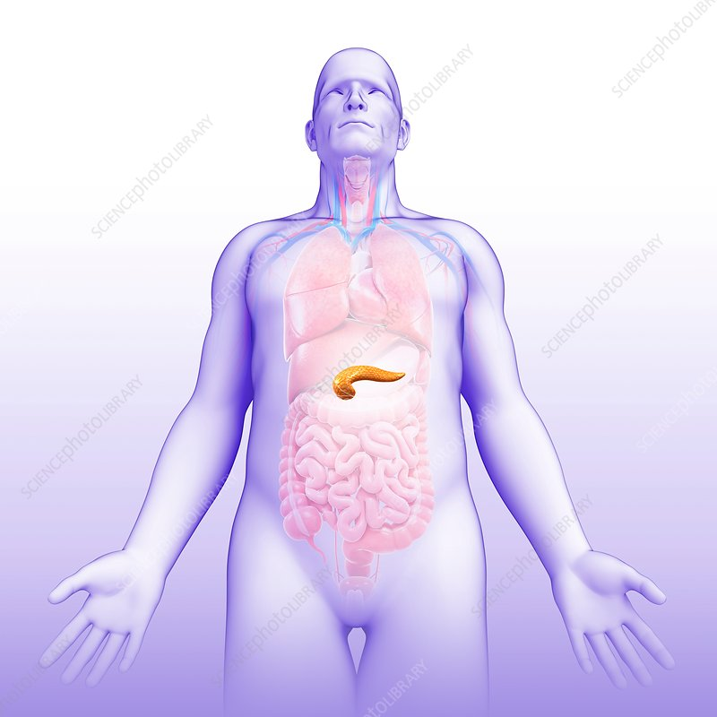 Male pancreas, illustration