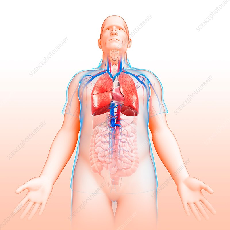 Male respiratory system, illustration