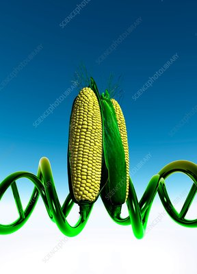 Sweet corn with DNA