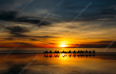 Camels at sunset, Broome, Australia