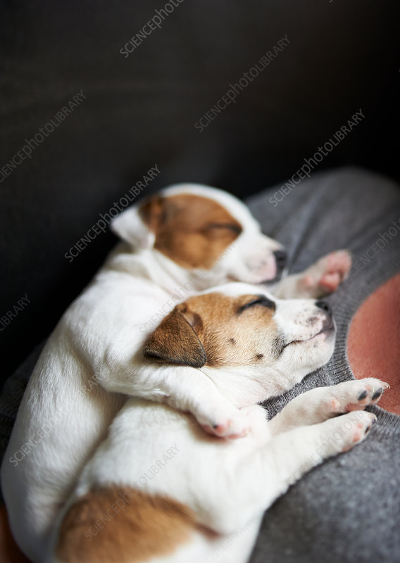 close up puppies sleeping on girl's chest