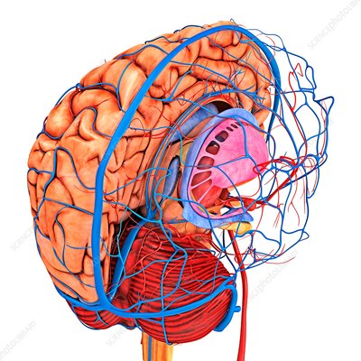 Brain's blood supply, artwork