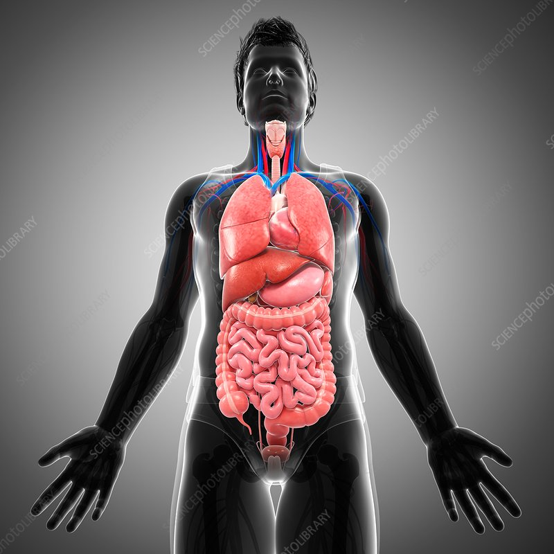 Male internal organs, illustration