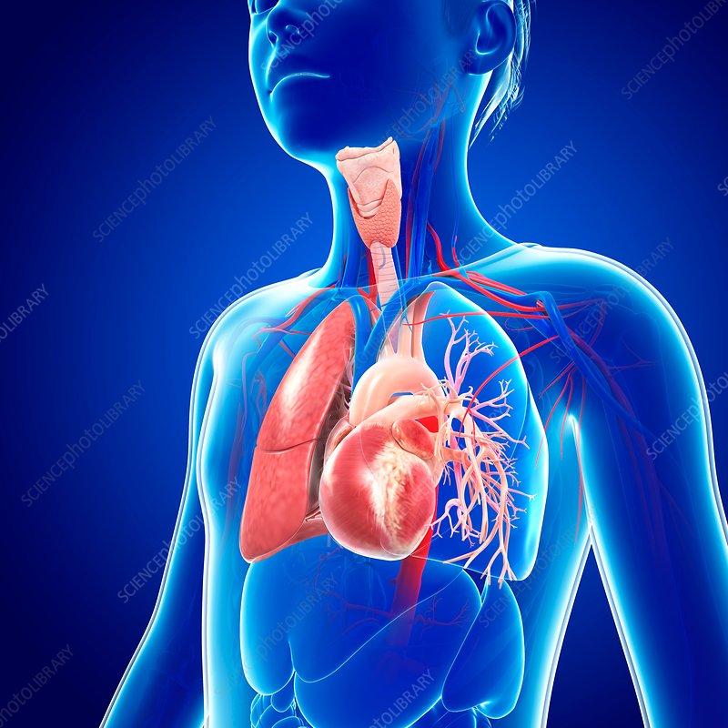 Respiratory system, illustration