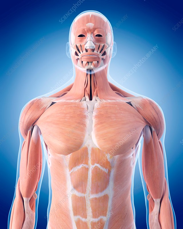 Human Upper Body Muscles Stock Image F0162762 Science Photo