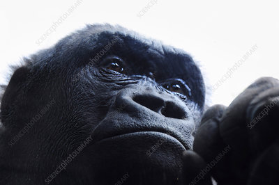 Close up of a Gorilla's face