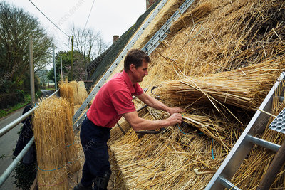Man thatching roof with yelms of straw