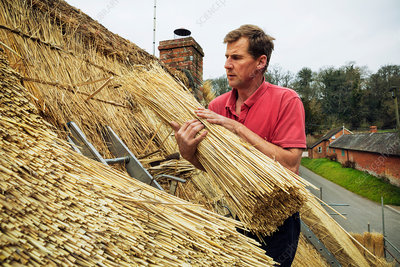 Thatcher holding a yelm of straw