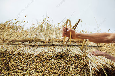 Man using hazel wood spars in thatch
