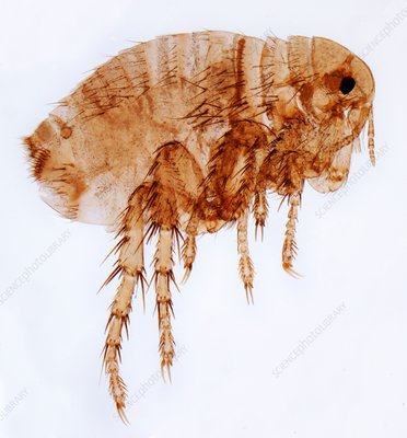 Female flea, LM